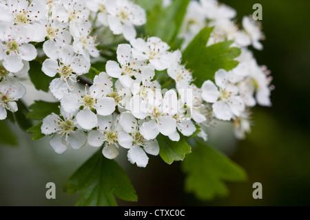 Crataegus monogyna blossom. Hawthorn blossom in Spring. - Stock Photo