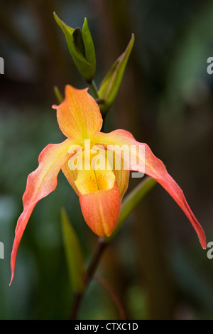 Phragmipedium 'Eric Young'. Orchid in a glasshouse. - Stock Photo