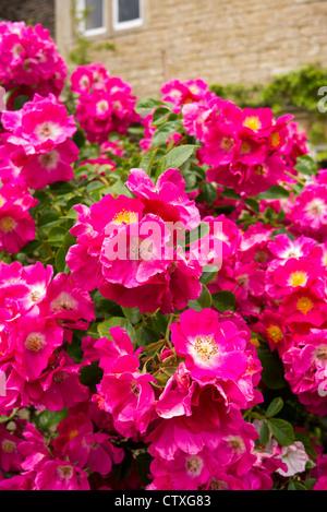 Pink rambler roses in June (Probably 'American Pillar') - Stock Photo