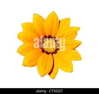 Gazania - Yellow flower head, isolated on a white background. - Stock Photo