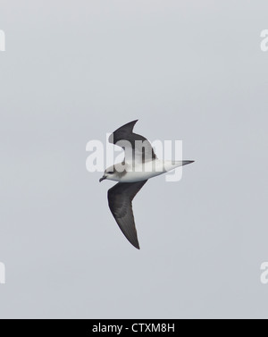 Zinos Petrel Pterodroma madeira in flight over sea near Madeira - Stock Photo