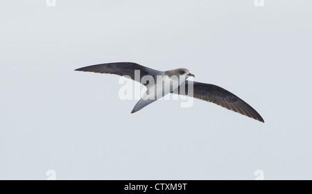 Zinos Petrel Pterodroma madeira in flight over sea near Madeira - Stock Photo
