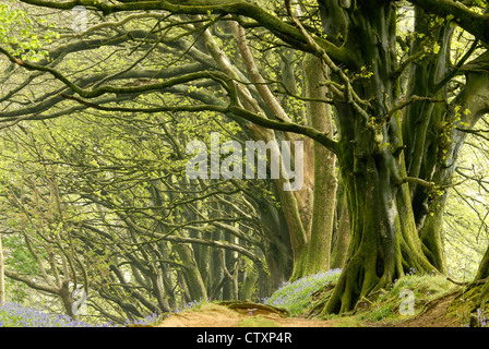 A view of a beechwood in bluebell time UK - Stock Photo