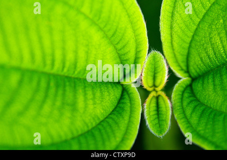 Stunning green leaf  macro shot showing the texture and vibrant colour during a war and sunny day. - Stock Photo