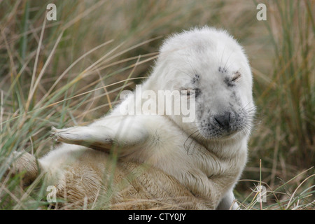 Grey seal pup (Halichoerus grypus) in the dunes at Donna Nook, Lincolnshire, England, UK - Stock Photo