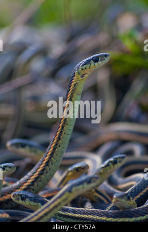 Garter snake Mating ball; males looking for a mate in early spring - Stock Photo