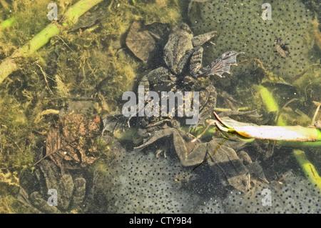 grass frog rana temporaria - Stock Photo