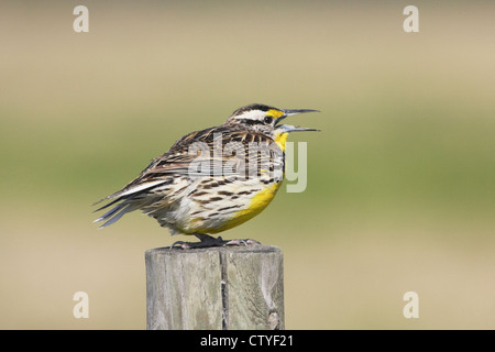 Eastern meadowlark (Sturnella magna) singing perched on post - Stock Photo