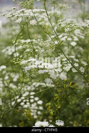 Delicate, white summer flowering umbellifer, Ammi majus, (Bishop's Flower), Oxfordshire, United Kingdom, July