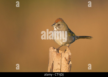 Green-tailed Towhee (Pipilo chlorurus) adult perched, Starr County, Rio Grande Valley, South Texas, USA Stock Photo