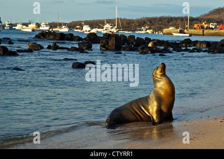 Sea-lion enjoying the sun on the shore in Galapagos, Ecuador. - Stock Photo