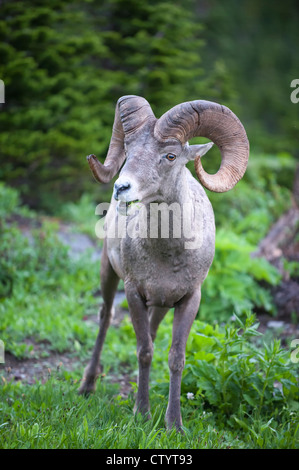 Rocky Mountain Bighorn Ram (Ovis canadensis), Northern Montana - Stock Photo