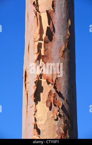 Bark peeling off from the trunk of a lemon scented gum (Corymbia citriodora) eucalyptus tree - Stock Photo