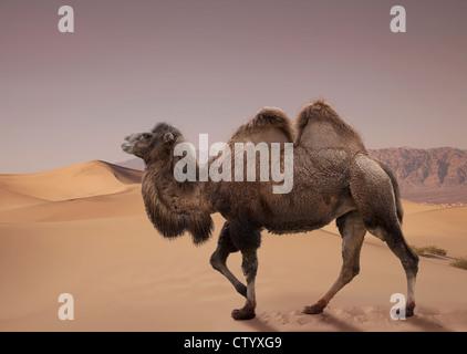 Bactrian camel walking in desert - Stock Photo