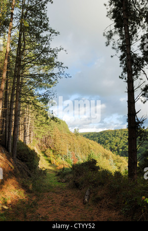 Track through conifer woodland, Tir Sisial, Wales. - Stock Photo