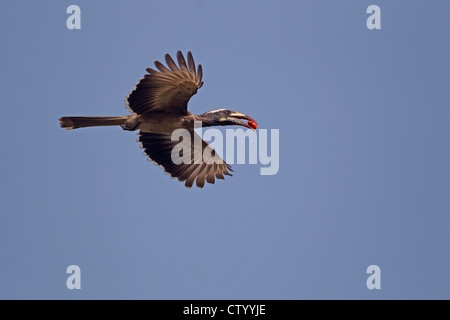 African Grey Hornbill (Tockus nasutus) Western Division The - Stock Photo