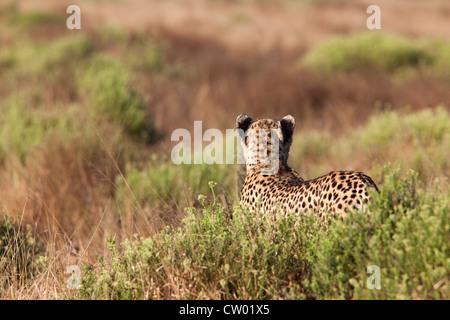 Cheetah female (Acinonyx jubatus), Phinda private game reserve, Kwazulu Natal, South Africa, June 2012 - Stock Photo