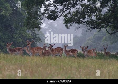 Fallow Deer taking cover under a tree in heavy rain - Stock Photo