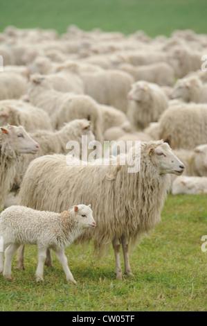 Sheep grazing in grassy field - Stock Photo