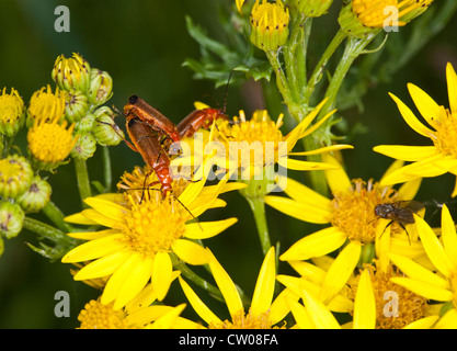 Common Soldier Beetle on Oxford Ragwort - Stock Photo