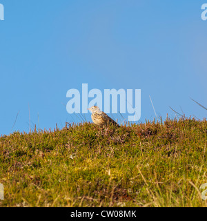 A Meadow Pipit ( Anthus pratensis ) in the Uk - Stock Photo