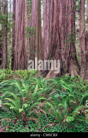 Ferns carpet the forest floor among the giant redwood trees of Stout Grove in California's Jedediah Smith State - Stock Photo