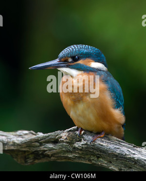 Kingfisher on a perch listening and watching - Stock Photo