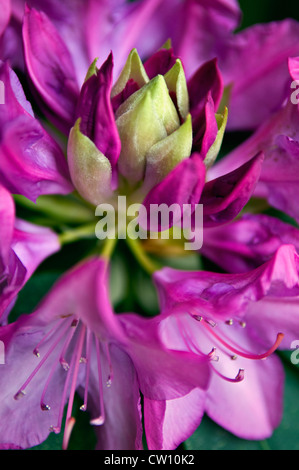 Rhododendron Starting to Blossom - Stock Photo