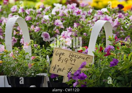 Mini Petunias for Sale at Flower Shop in Buckner - Stock Photo