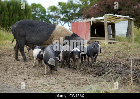 A Group Of Baby Pigs Are Together Stock Photo 115403912