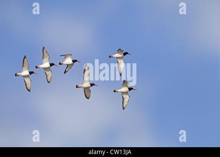 Group of Oystercatchers Haematopus ostralegus in flight - Stock Photo
