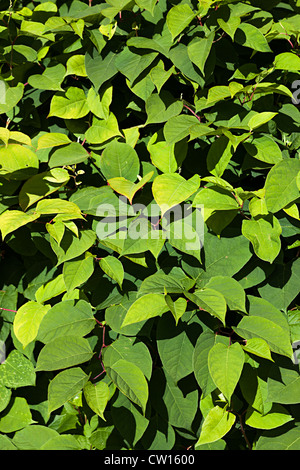 Japanese knotweed, Fallopia japonica, syn. Polygonum cuspidatum, Reynoutria japonica, at edge of path, Blaenavon, - Stock Photo