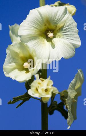 Hollyhock  'Halo White' Alcea rosea Althaea rosea - Stock Photo