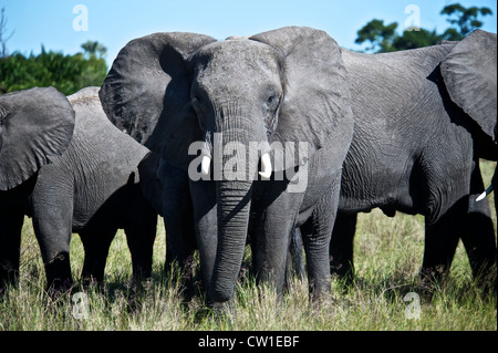 Elephants on safari trip. Duba, Africa. - Stock Photo