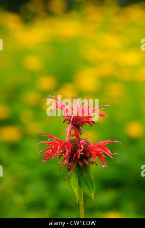 Wild Bergamot. Red bee balm, (Monarda didyma), Greater Sudbury, Ontario, Canada - Stock Photo