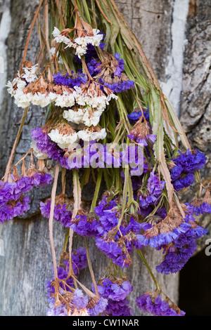 Limonium flowers. Statice drying in the sunshine. - Stock Photo