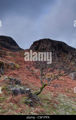 A ragged tree grows on rocks near to Wast Water in the Lake District. - Stock Photo