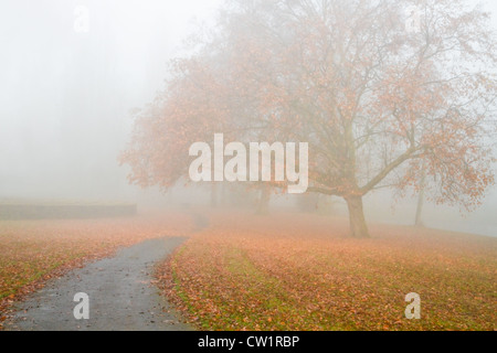 Dense fog in fall - Big Plane tree with fallen leaves in the mist on cold November day - Stock Photo