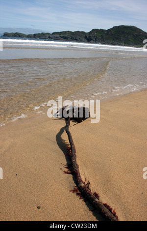 Sea Kelp washed up on sandy beach. - Stock Photo