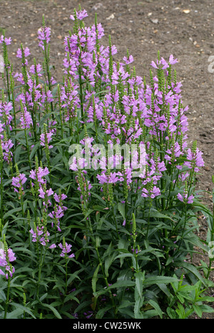 Obedient Plant or False Dragonhead, Physostegia virginiana 'Summer Spire', Lamiaceae. USA, North America. - Stock Photo