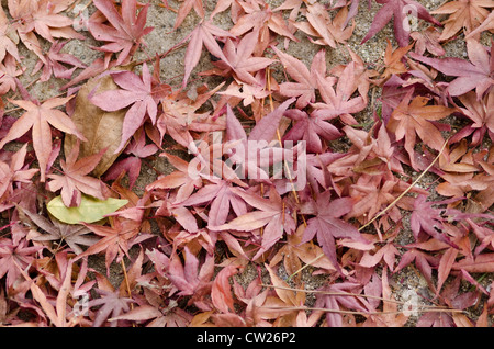 Dry brown and red leaves of japanese maple on the forest floor in autumn - Stock Photo