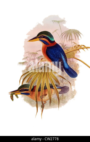 illustration of two Rufous-collared Kingfishers, one with worm in the beak, found in Brunei,Indonesia,Malaysia,Myanmar,Thailand - Stock Photo
