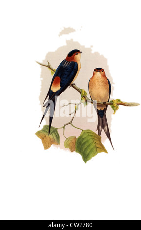 illustration of The Red-rumped Swallow rufula, Two birds - male female - on a branch. - Stock Photo