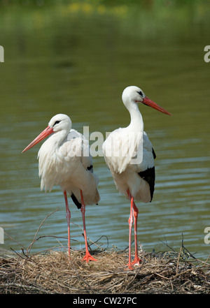 PAIR OF WHITE STORKS Ciconia ciconia STANDING ON NEST. FRANCE - Stock Photo