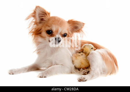 portrait of a cute purebred chihuahua with a chick in front of white background - Stock Photo