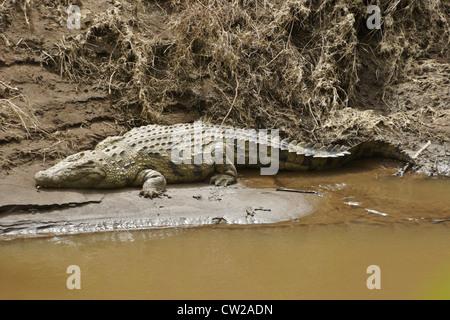 Nile crocodile sleeping on river bank, Masai Mara, Kenya - Stock Photo