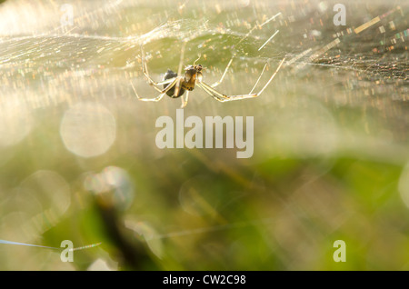 Common orb spider predator hanging upside down waiting for prey fly to land on silk threads of web in rays of dawn - Stock Photo