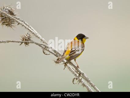 Black headed Bunting Emberiza melanocephala Male perched - Stock Photo