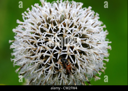 Echinops is a genus of about 120 species of thistles in the daisy family Asteraceae, commonly known as globe thistles. - Stock Photo