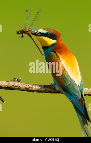 European bee-eater(Merops apiaster) with a dragonfly in its beak.Hungry - Stock Photo